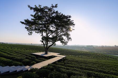 Tree alone in the tea farm and plantation, blue sky background, Chaing Rai Thailand. Tea Plantation Green Tea
