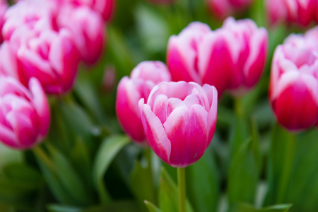Pink tulips flowers in the garden Фото со стока