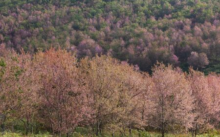 Colorful nature landscape spring forest background, Pink Wild Himalayan cherry blossom flower tree