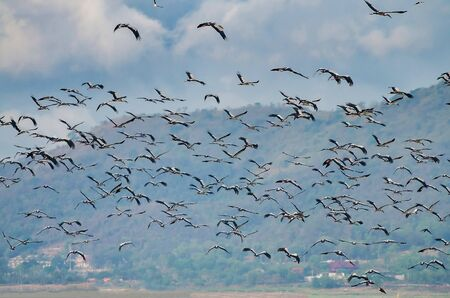 A flock of openbill in the stork family