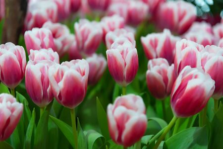 Tulip flower is typical flower in netherlands. Banque d'images