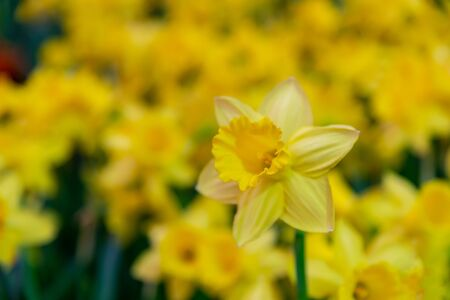 Blurred : Amazing Yellow Daffodils flower field in the morning sunlight. The perfect image for spring background