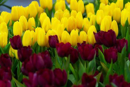 Multicolored vibrant Dutch tulip fields in spring the new season