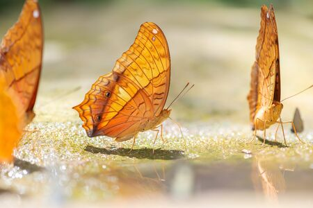 Closed wing butterfly images and Butterfly of Thailand. Banque d'images