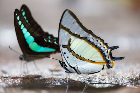 Butterflies in Thailand.Gem of the forest floor.Nature gives life.