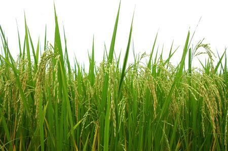 panicle: rice  panicle Stock Photo