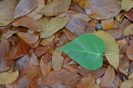 religiosa: one ficus religiosa on dry leaves