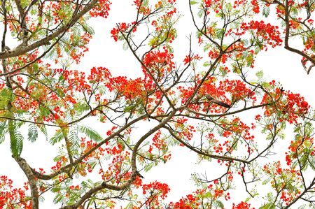 panicle: panicle royal  poinciana tree delonix regia and flame tree or peacock  flower on white background
