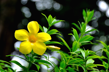 apocynaceae: close up  yellow allamanda cathartica flower at garden