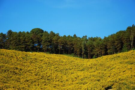 Yellow Flower field in north of Thailand