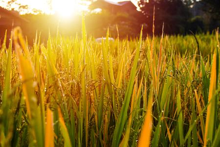 Close up golden rice field and sunset Reklamní fotografie
