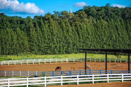 Horse farm in the wooden fence and pine wood with blue sky background