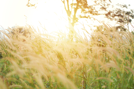 Abstract blur - Golden of grass flower field with soft sunlight. Poaceae grass flower, Pennisetum alopecuroides. Ornamental grasses on sunset or sunrise. (Soft focus - Vintage filter)