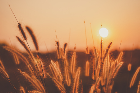 Grass flower in sunset and sun light abstract background. Nature ecology environment and travel relax concept. Shallow depth of field. Vintage tone filter effect color style.