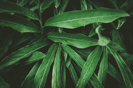 Close up rain drops on tropical nature green leaf texture abstract background. Copy space ecology environment and travel adventure concept. Shallow depth of field. Vintage tone filter effect color sty