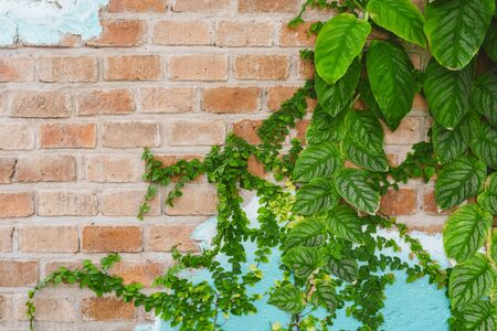 Nature green leaf on brown stone wall texture abstract background.