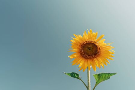 Beautiful sunflower on blue sky background. Vintage tone filter effect color style.