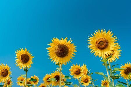 Beautiful sunflower on blue sky background.
