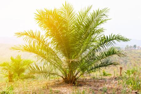 Palmölplantage und Morgensonnenlicht. Standard-Bild - 77774378