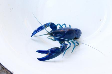 Shrimp yabbie crayfish (Cherax destructor)