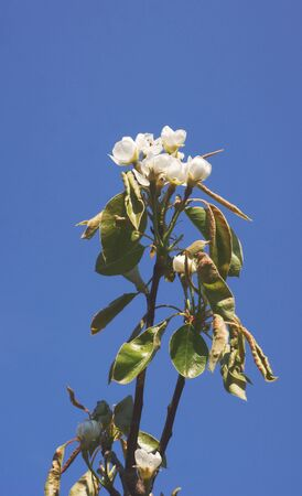 Pear tree blossom flowers against a blue sky
