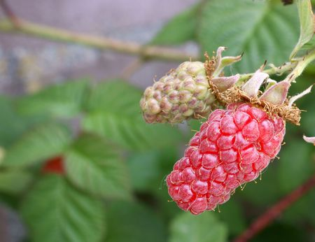 A branch with 2 raspberries, ripe and not ripe yet