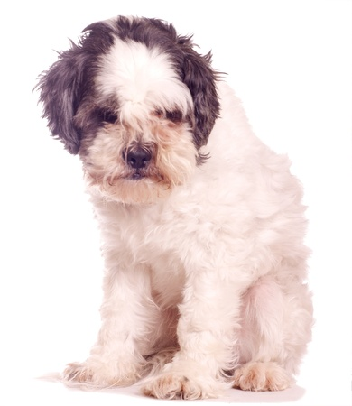 Small white dog, against a white background
