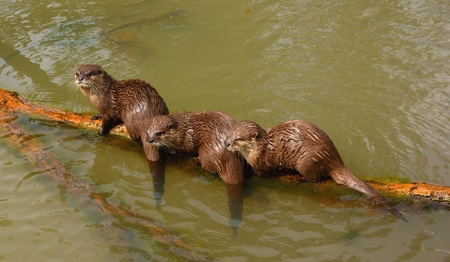 cinerea: 3 Asian small claw otters  (Aonyx cinerea) Stock Photo