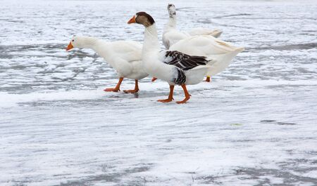 White goose, walking on a frozen lake