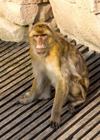 berber: Berber monkey in the zoo