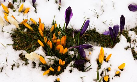 Crocus in the melting snow in the netherlands