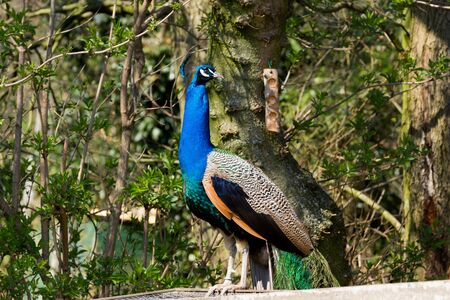 Blue indian peafowl against a green beckground Stock Photo