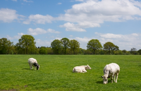 White cows in rural dutch landscape against a partial clouded sky Stock Photo