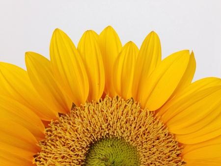 closeup: Sunflower close-up Stock Photo