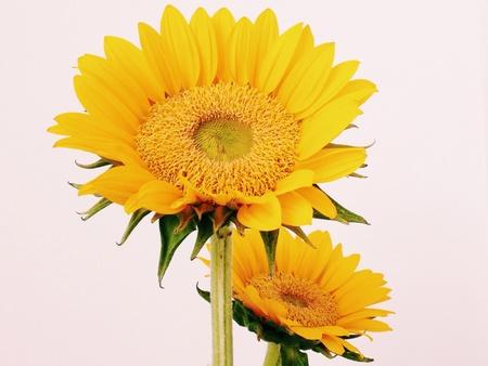 closeup: Sunflowers close-up