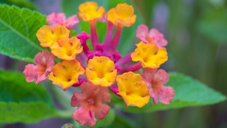 lantana: Lantana camara L., blooming flowers in pink, purple, yellow and orange with some ants on them Stock Photo