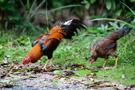 Beautiful gamecocks and family walking and find food in nature. Banco de Imagens