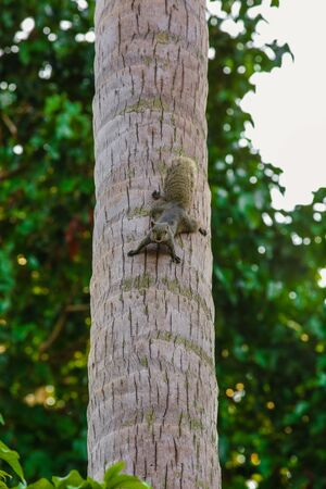 Squirrel On the Coconut Tree, Squirrel Looks Camera From Coconut Tree