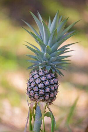 A young pineapple in a farm