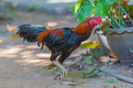 Thai fighting cock in Thailand, southeast Asia, Fighting cock Thai Traditional Sports, Gamecube beautiful male rooster Banco de Imagens