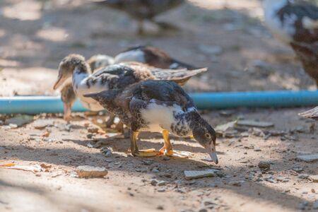 Group of thai brown ducks finding food at swamp nature. Banco de Imagens