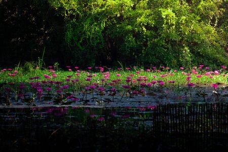Lotus in pink water blooms in lotus pond