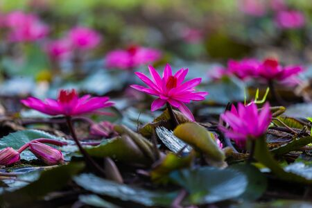Pink Nymphaea Water lily or Pink Lotus Flower on the lotus lake - Beautiful Flower nature backdrops in park garden concept