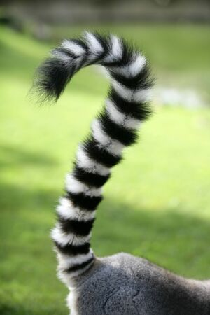 ring tailed: Ring tailed lemur from Madagascar. Question mark shape tail over green grass background