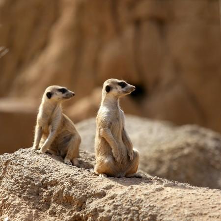 suricate: Two suricata standing alert. Suricate couple over a brown rock