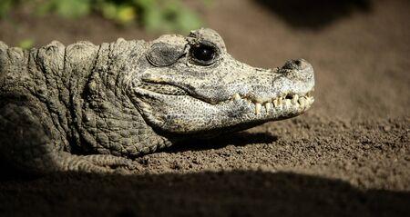 midget: Midget crocodrile from Africa over red sand taking a rest, Aligator. Stock Photo