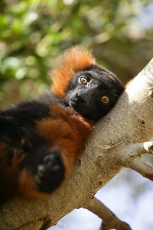 lied: Brown orange lemur from Madagascar island lied on a branch