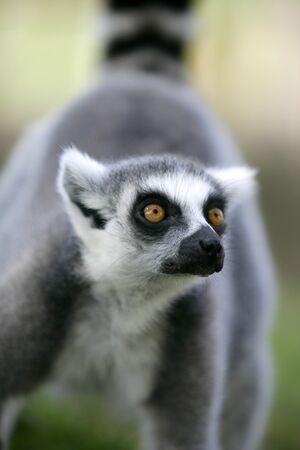 peculiar: Madagascar Ring Tailed Lemur portrait of this peculiar ape with beautifull ringed tail