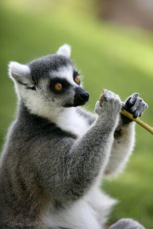 eigenaardig: Madagaskar Ring tailed Lemur portret van deze bijzondere aap met prachtige geringde staart