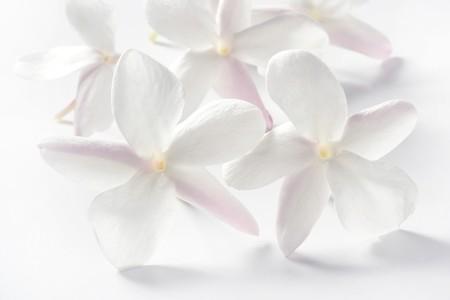 jessamine: fiori di gelsomini su sfondo bianco studio. Immagine morbida chiave alta